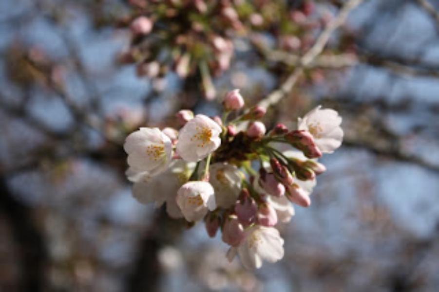 #桜2012 と #地域名 を入れたお花見情報をツイートしてTwitterグッズをもらおう!